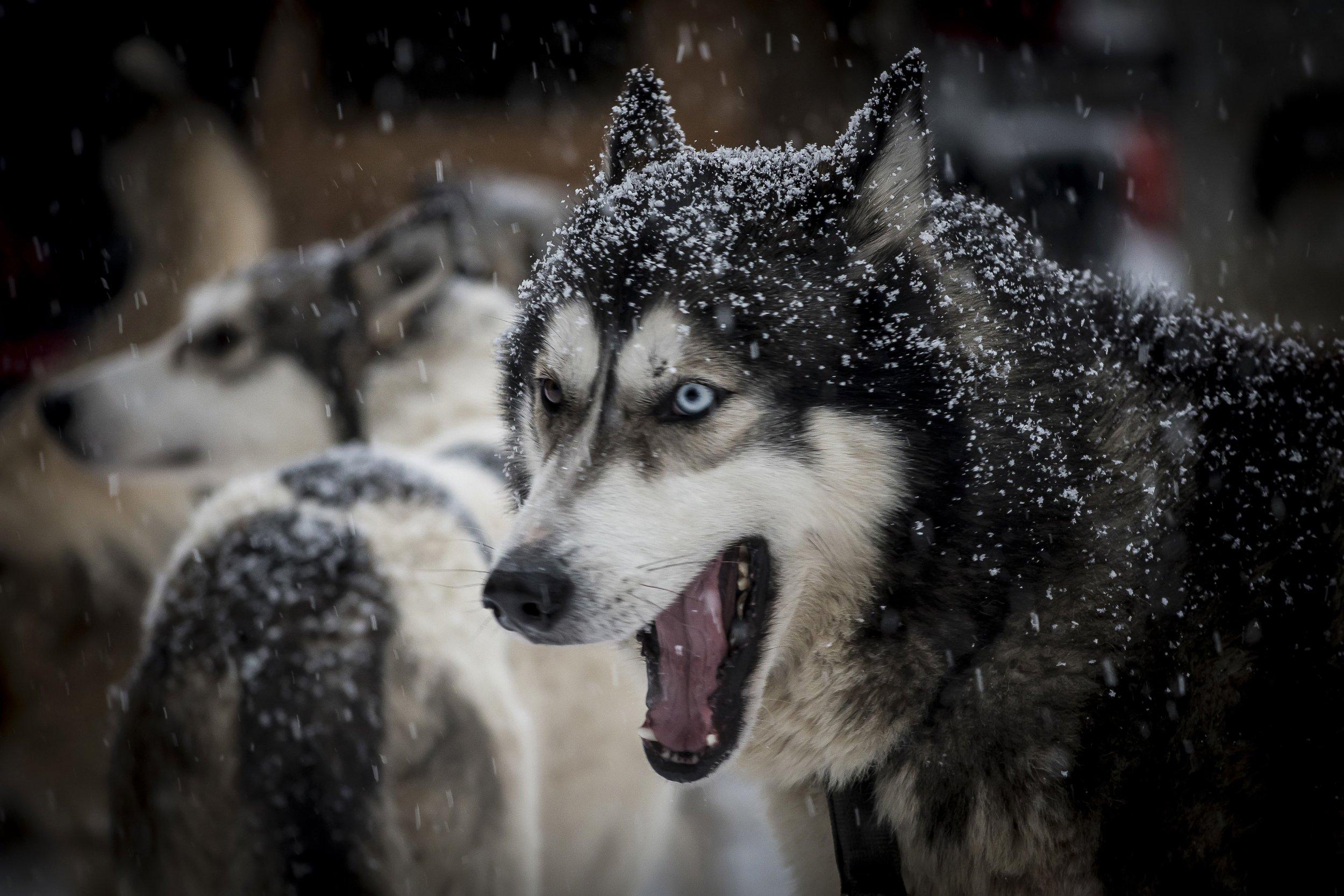 Sled dog snow