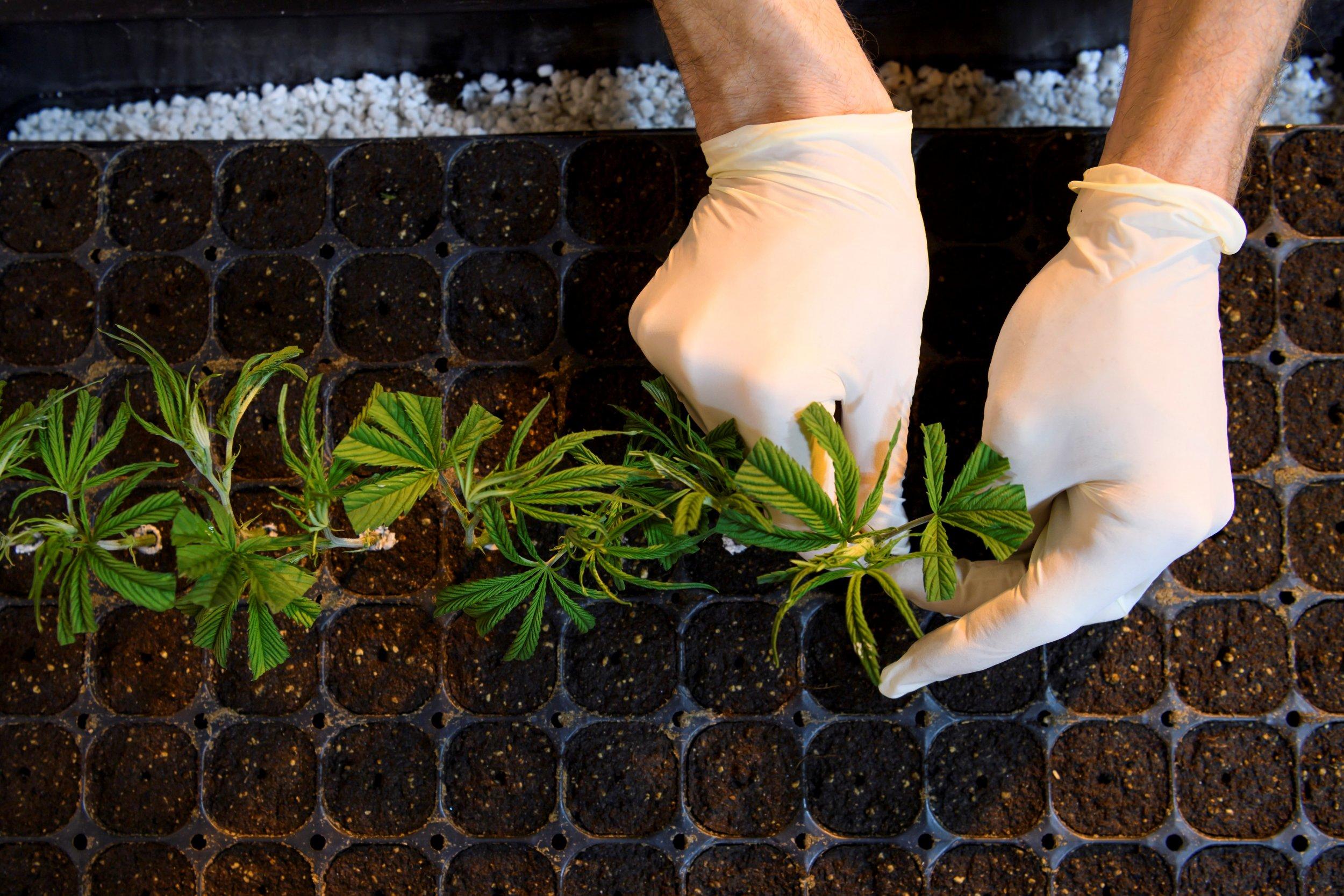 medical marijuana high CBD
