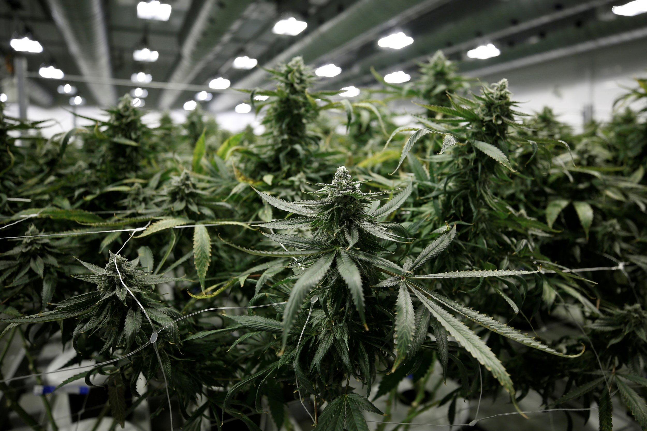 01_24_Marijuana