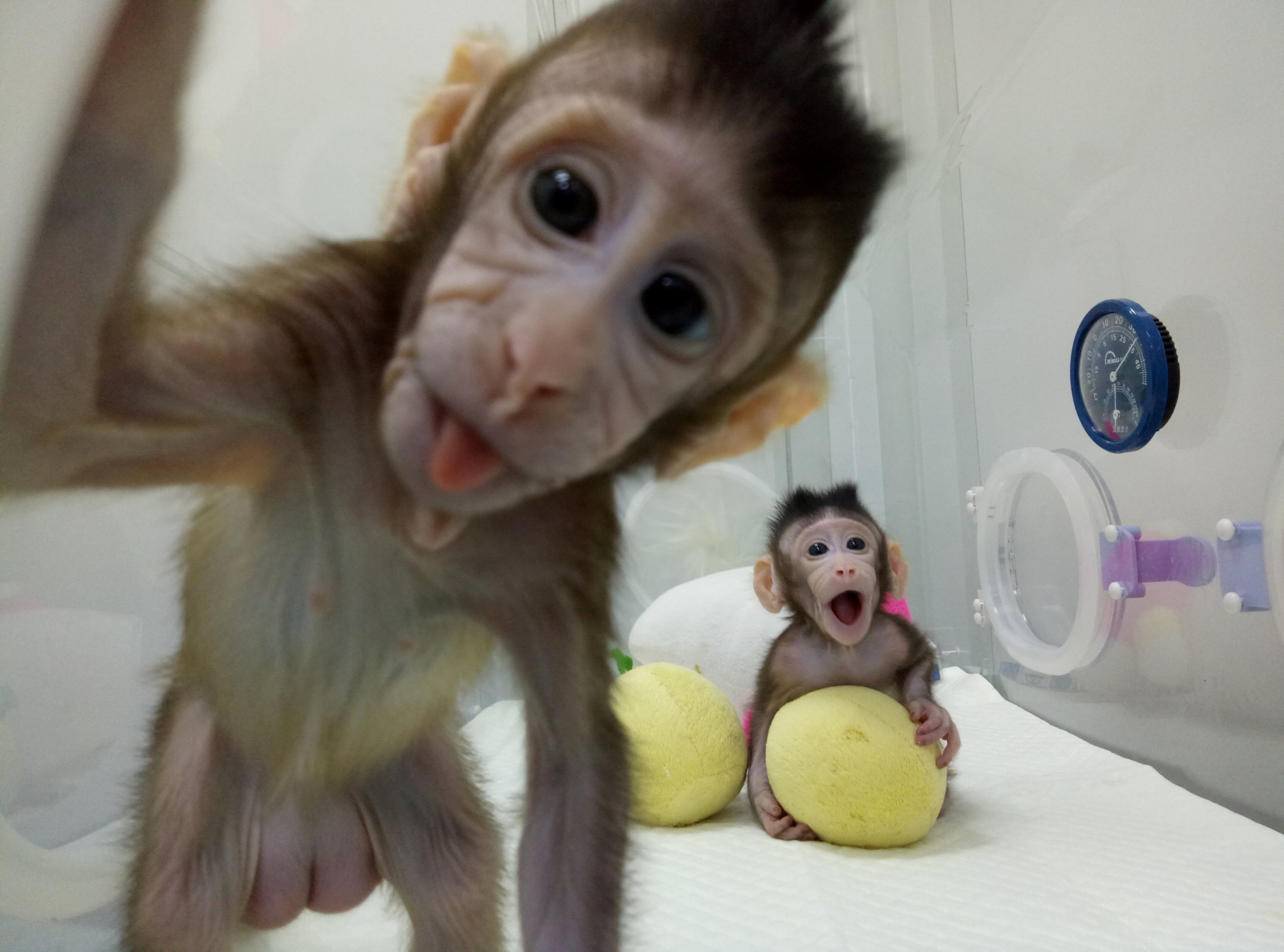 Chinese scientists clone two monkeys humans may be next voltagebd Choice Image