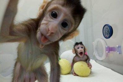 Cloned_Monkeys