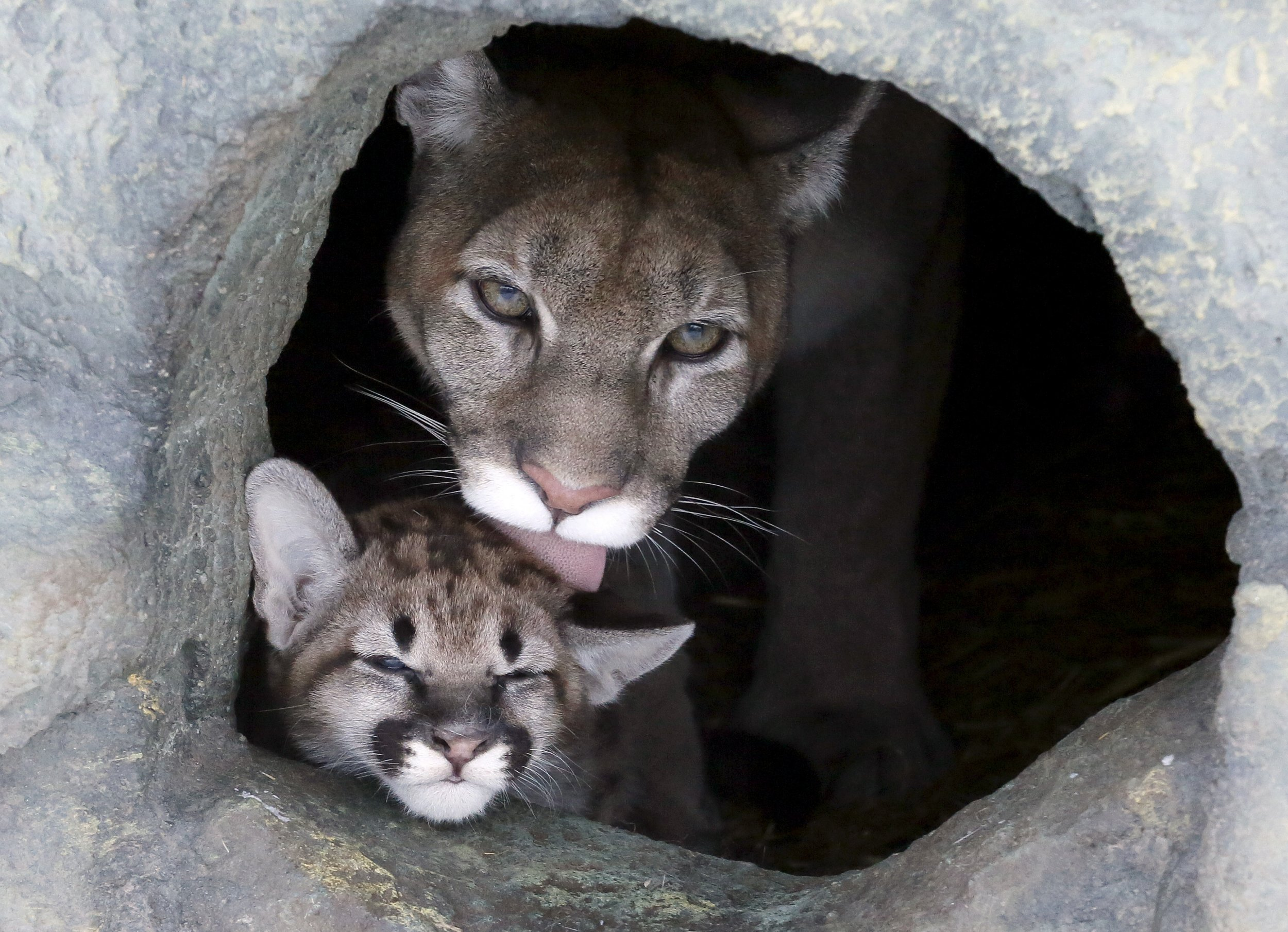 eastern puma is declared officially extinct
