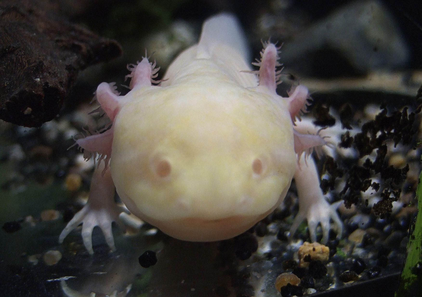 Albino_Axolotl