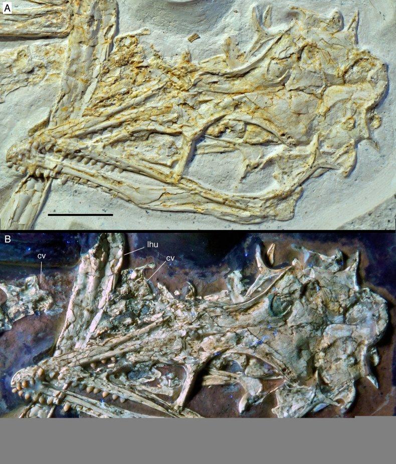 Archaeopteryx_skulls