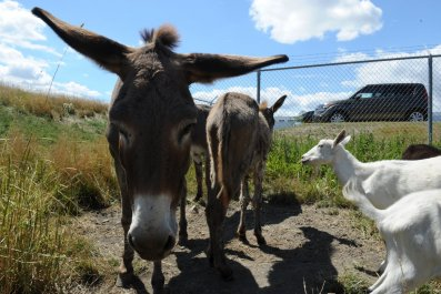 1_27_donkey goats