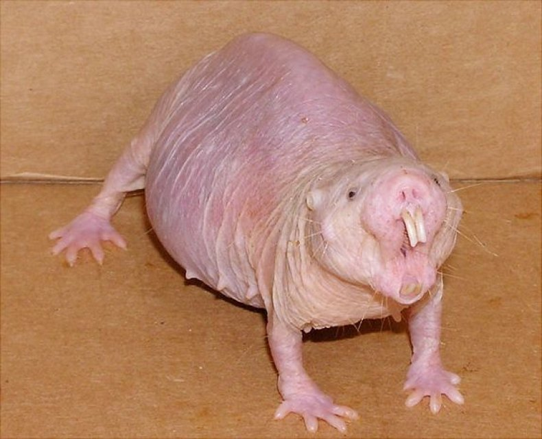 Naked_mole_rat