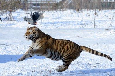 01_30_Siberian_tiger
