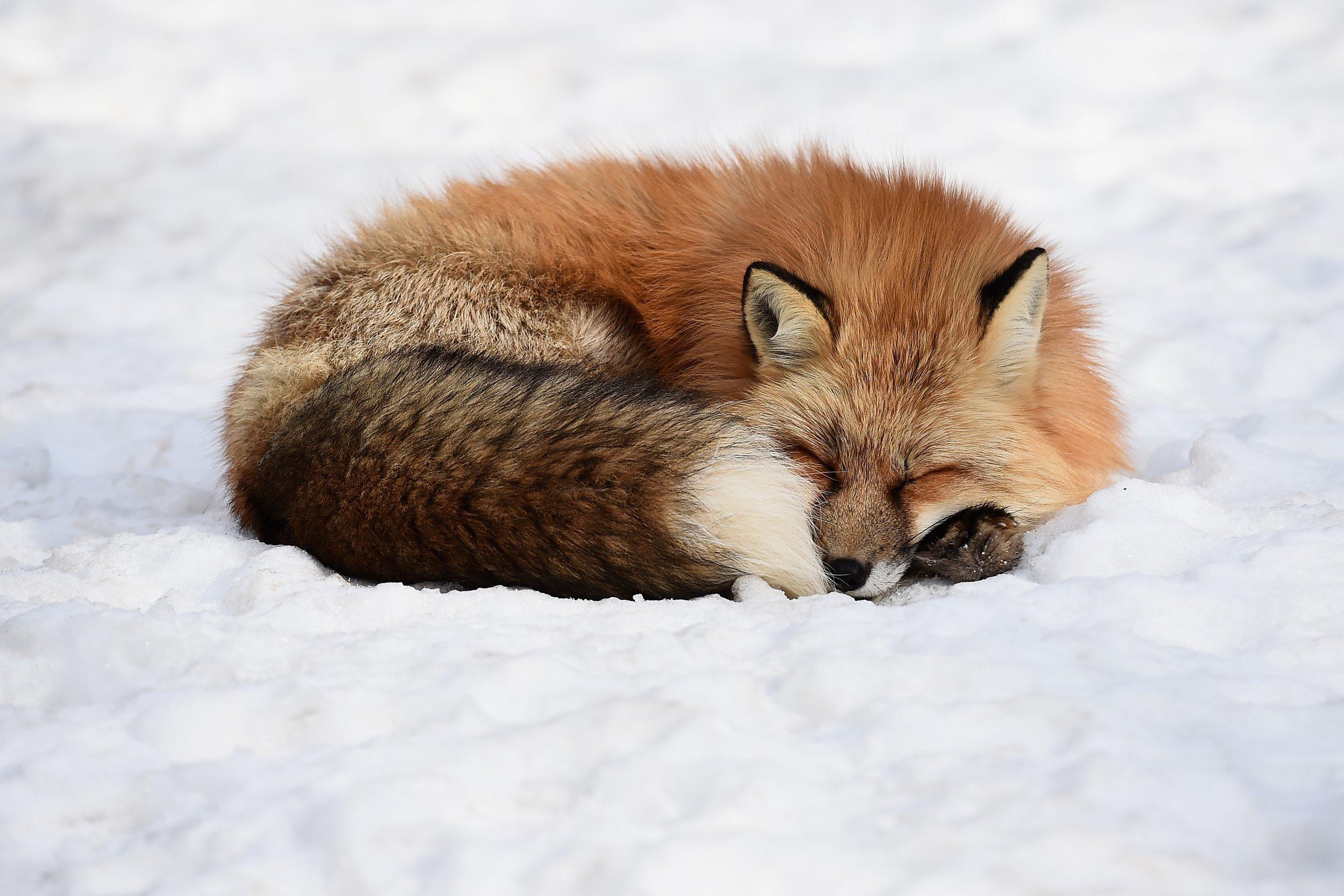 fox napping alzheimer's
