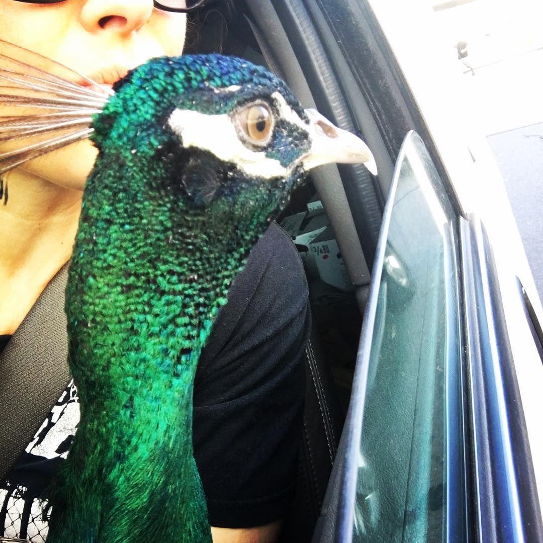 01_31_peacock