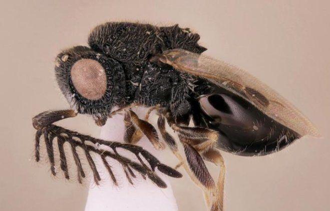 02_01_parasitoid_wasp_crop