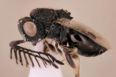 02_01_parasitoid_wasp_crop