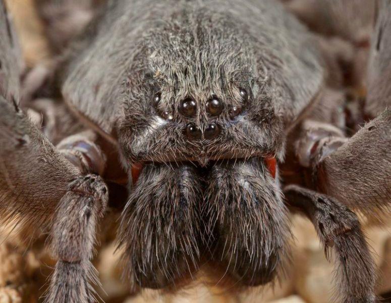 Sierra_Cacachilas_wandering_spider
