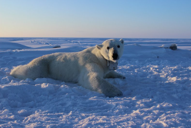 Polar_bear_GPS_video_collar_APagano_4-15-15