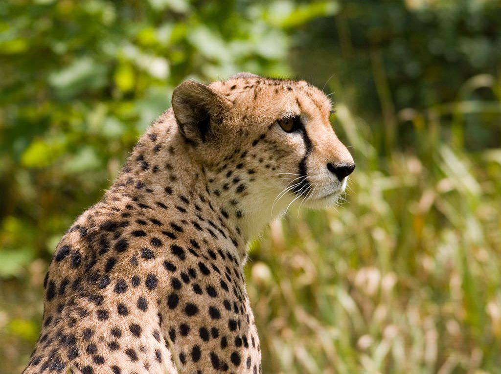 02_02_cheetah