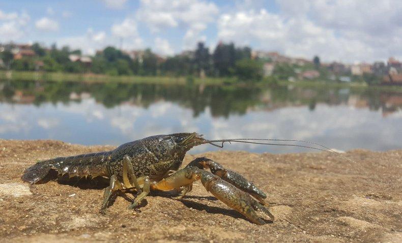 marbled_crayfish