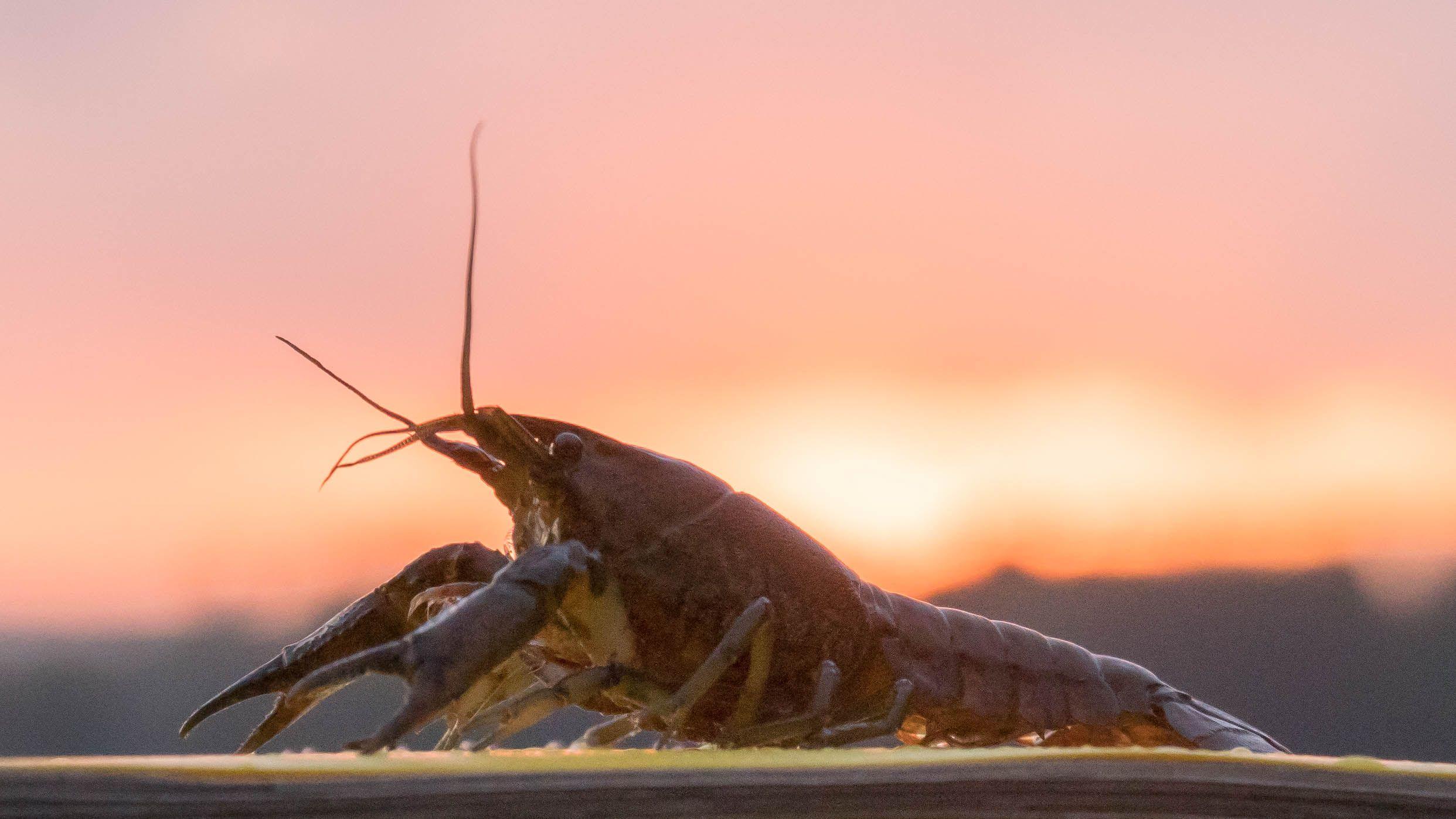 marbled_crayfish_sunset
