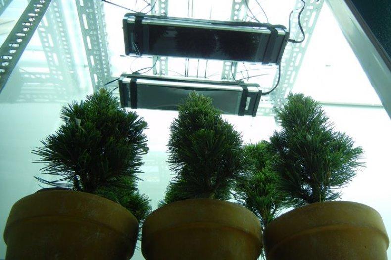 Conifers-under-UV-B-lamps750