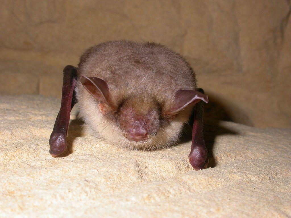 Mouse_Eared_Bat