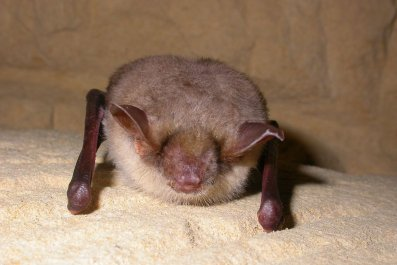 Mouse_Eared_Bat