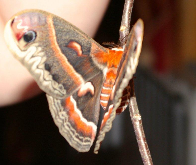 2_9_Cecropia moth
