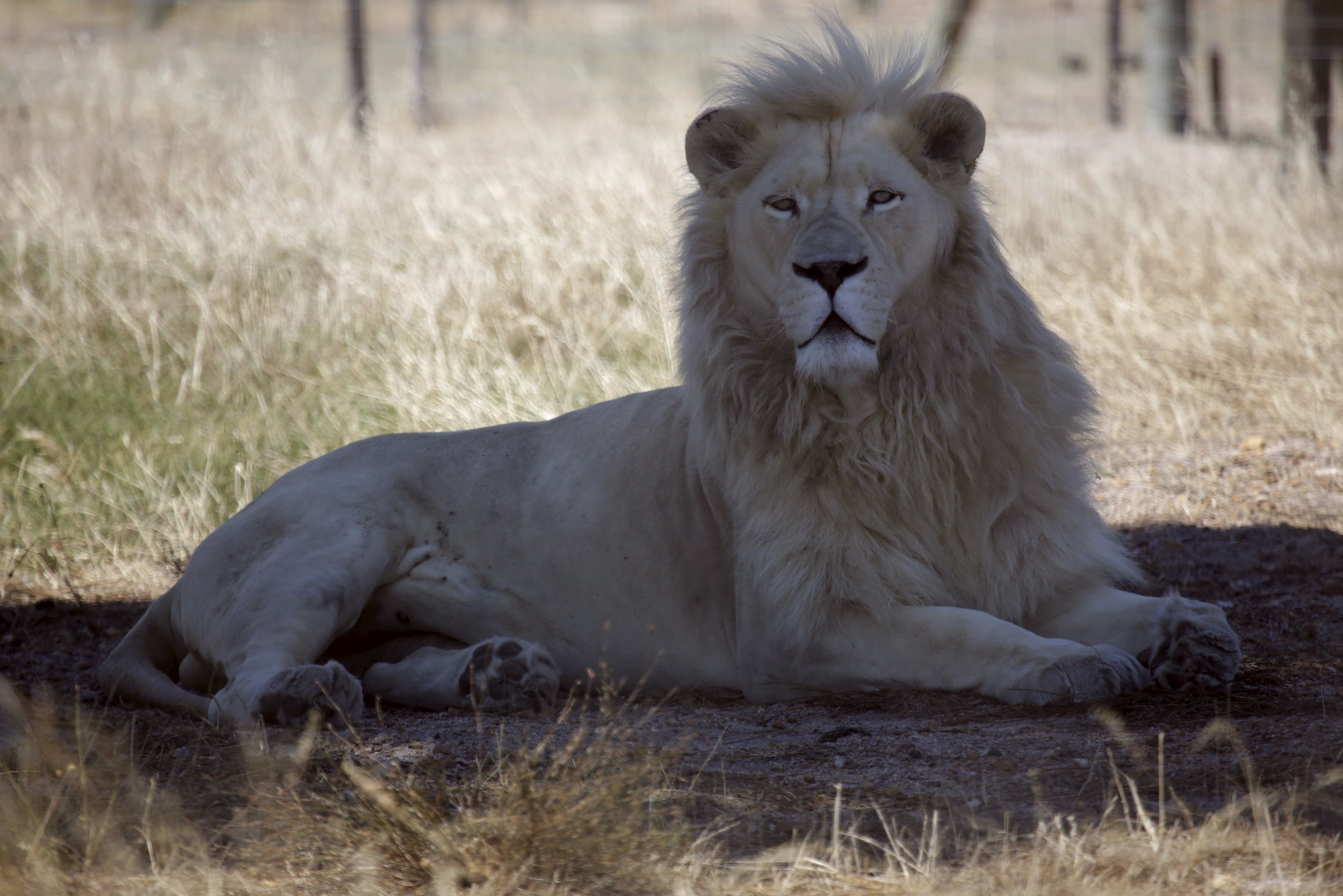 Lions in South Africa kill and eat suspected poacher, leaving only 'his head and some remains'