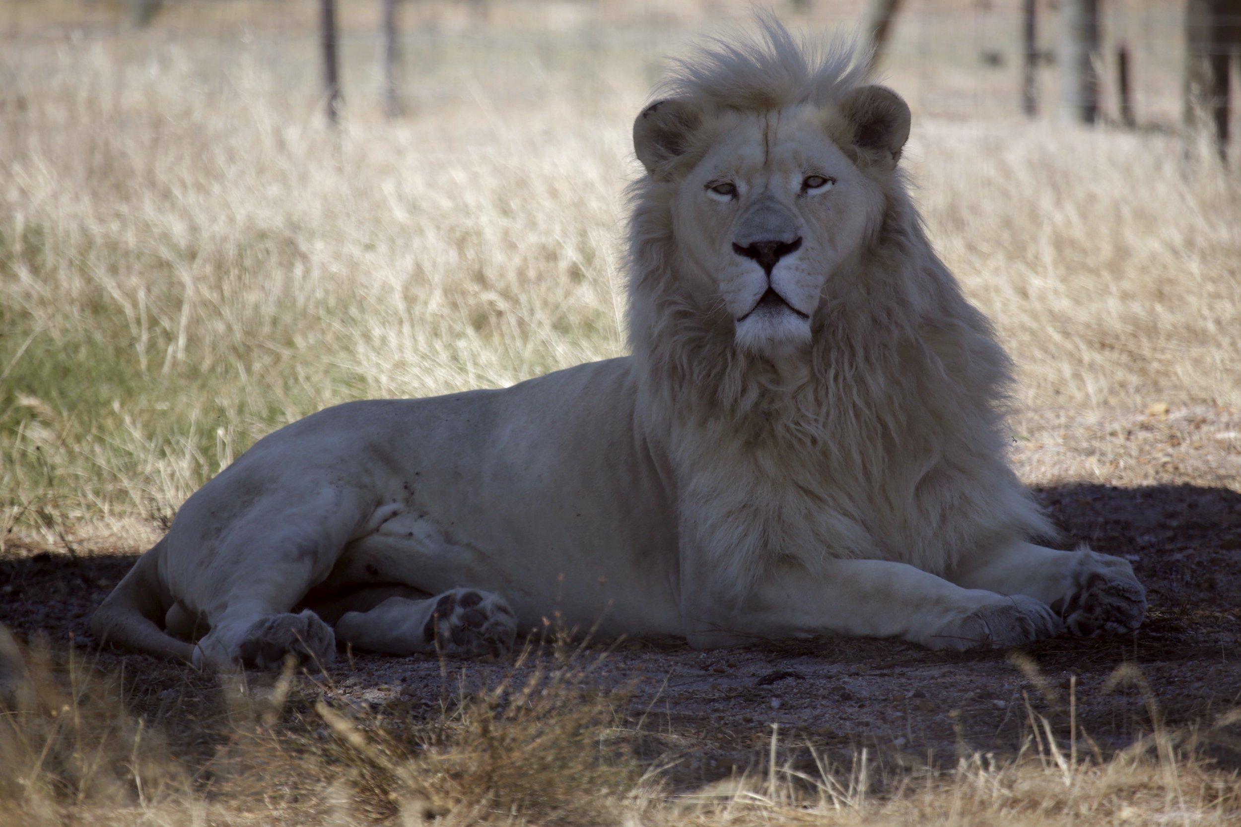 2_12_Lion