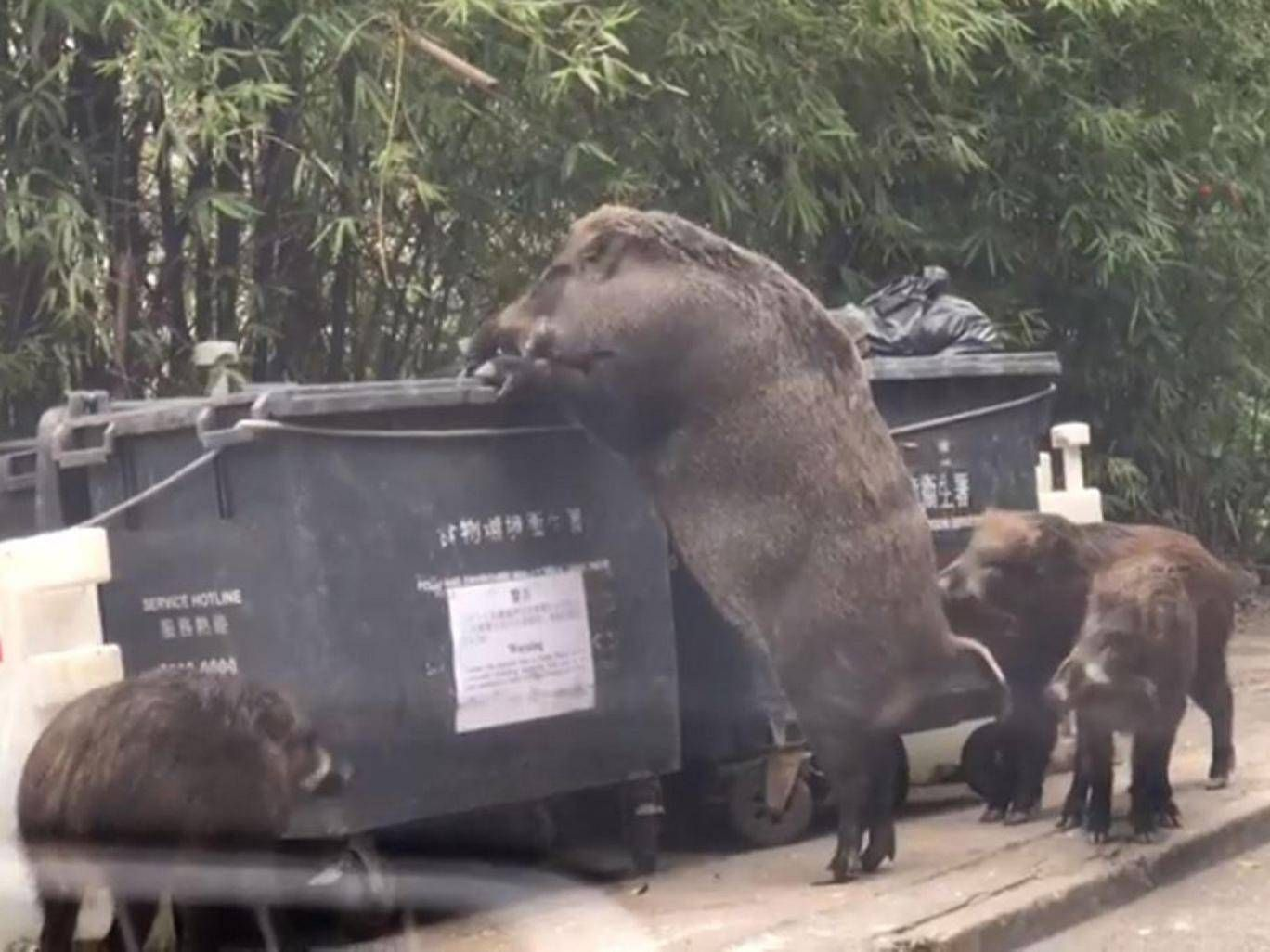 Video Pigzilla Raiding Trash Near School In Hong Kong