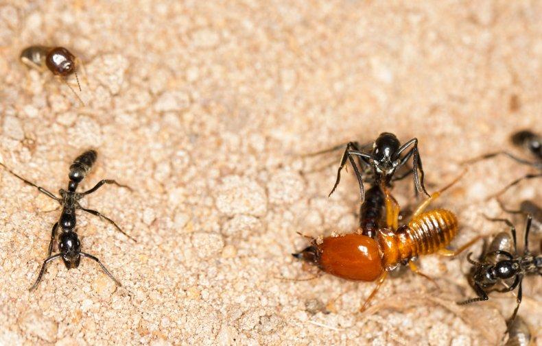 2_14_Ant kills termite