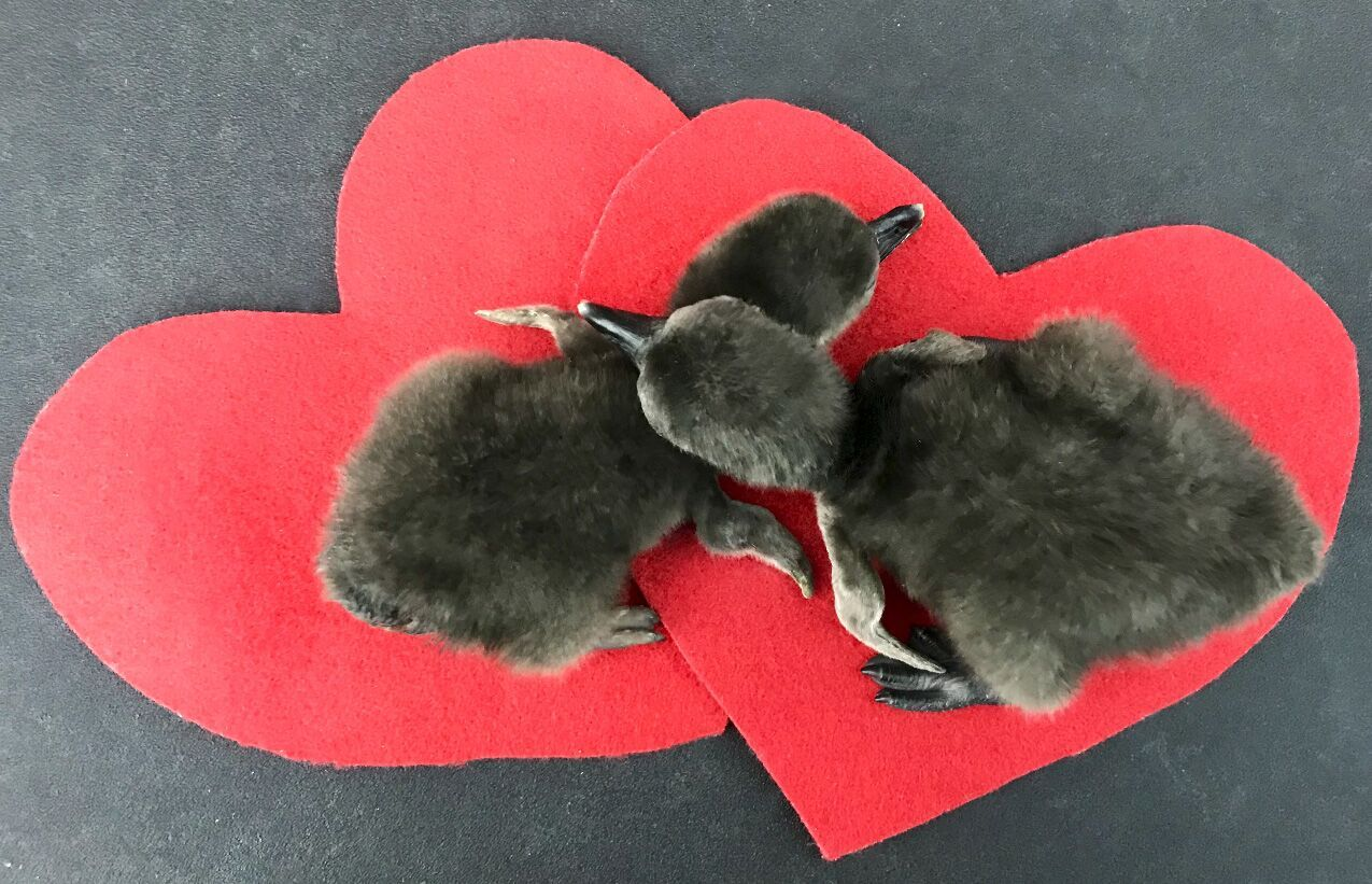penguin hearts