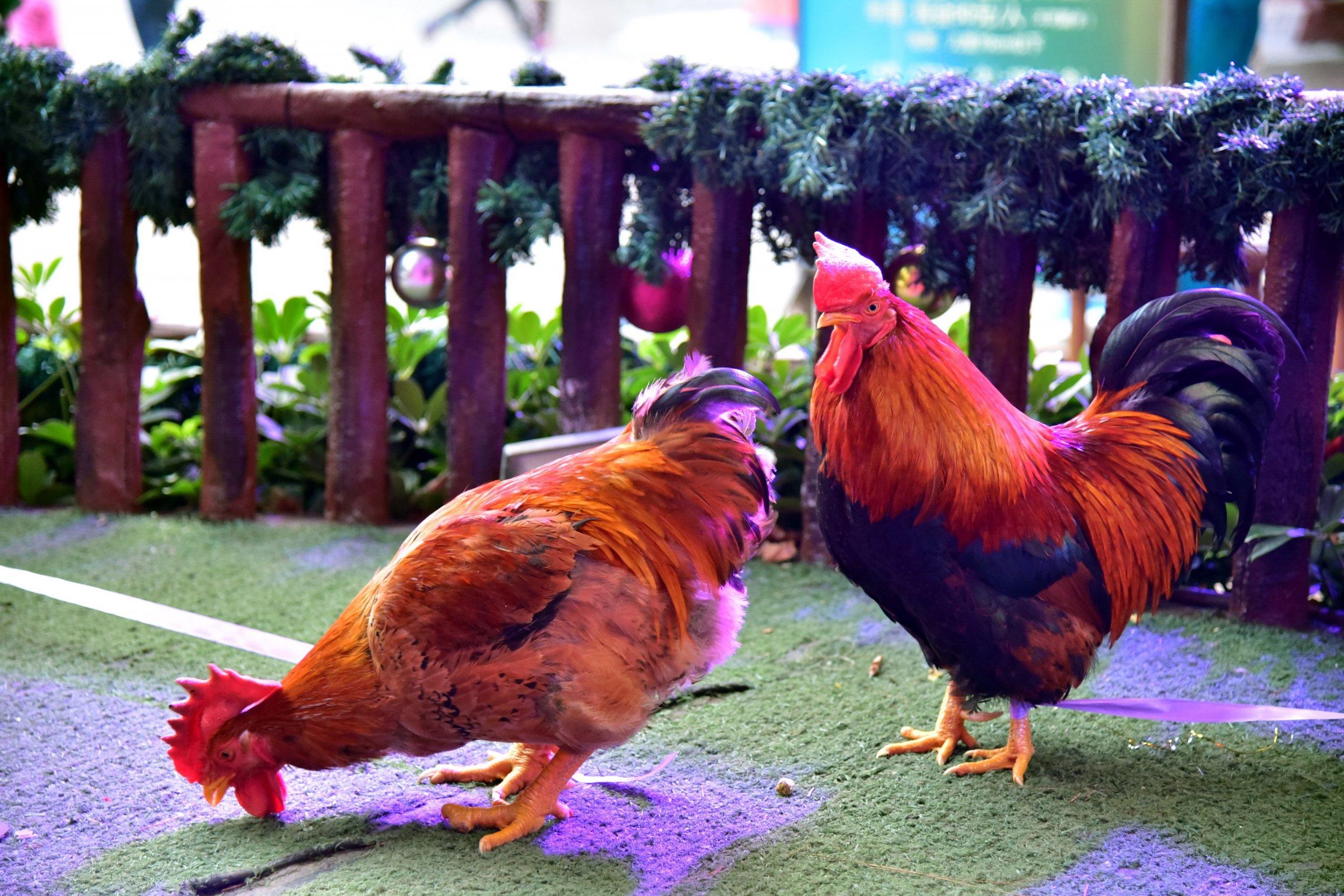 02_15_chicken