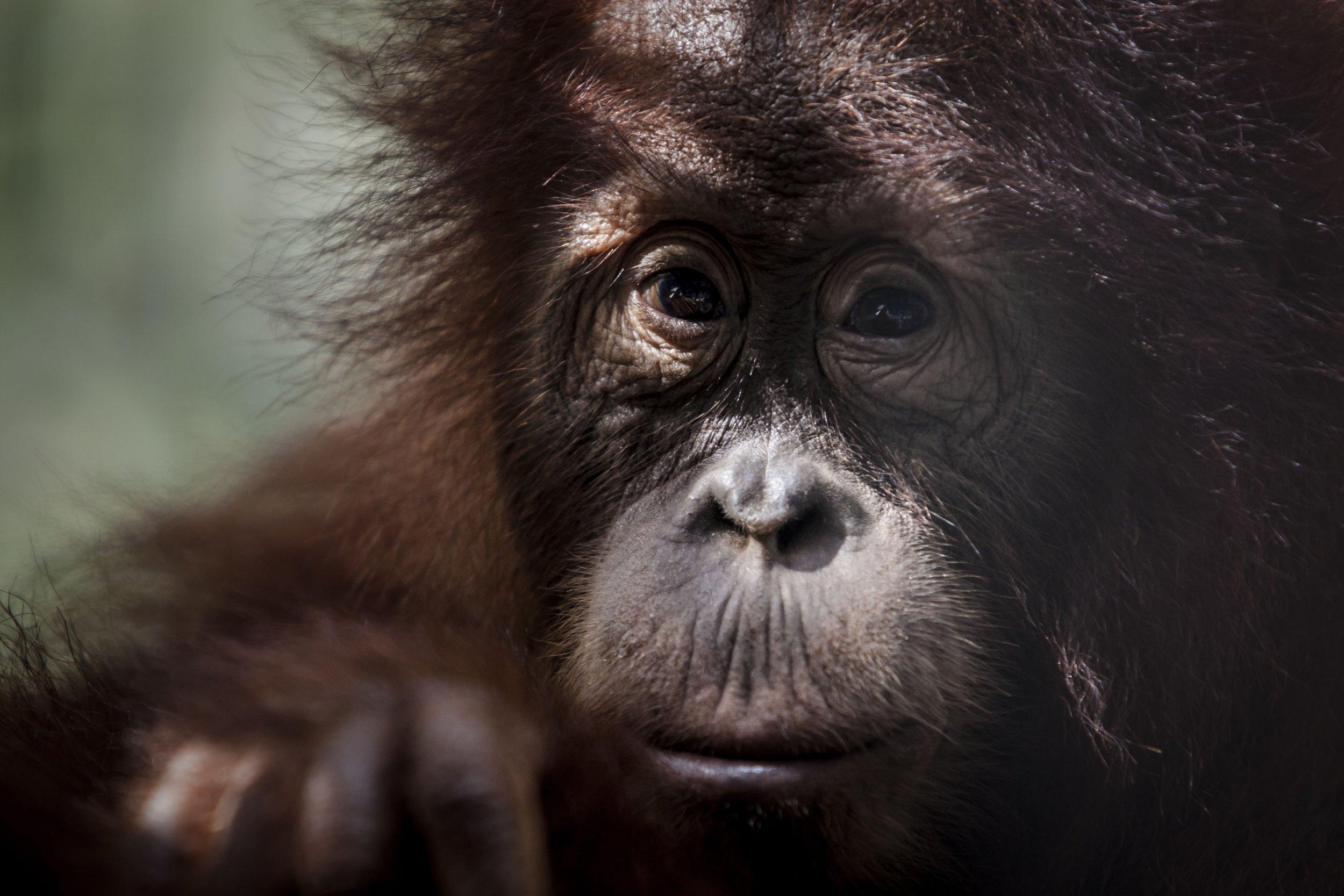 2_16_Orangutan_02