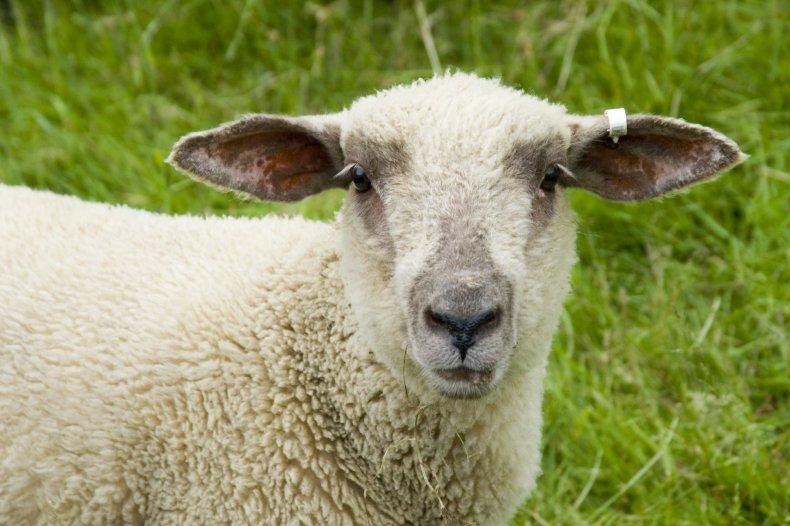2_19_Sheep