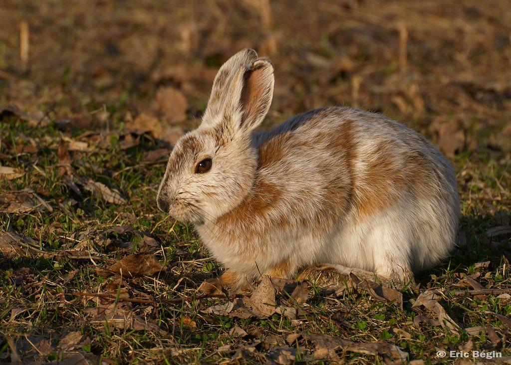Snowshoe_hare