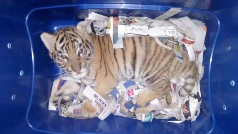 Tiger cub smuggling mexico
