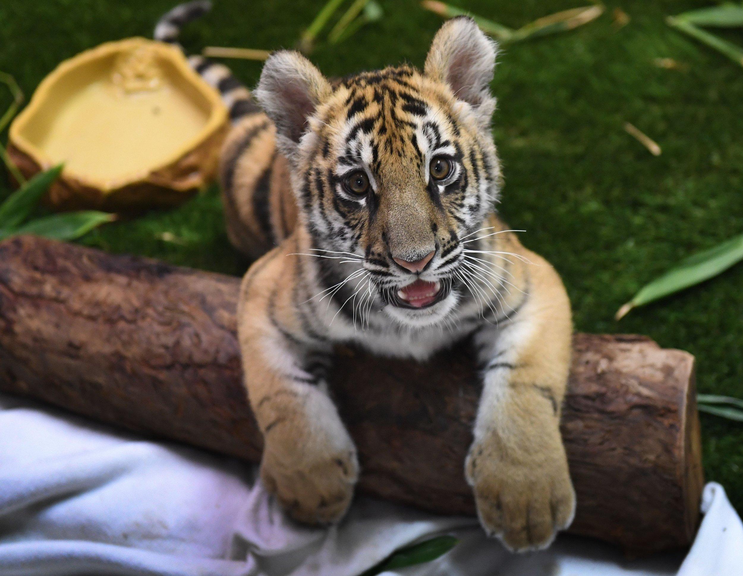 Moka tiger cub animal smuggling Mexico