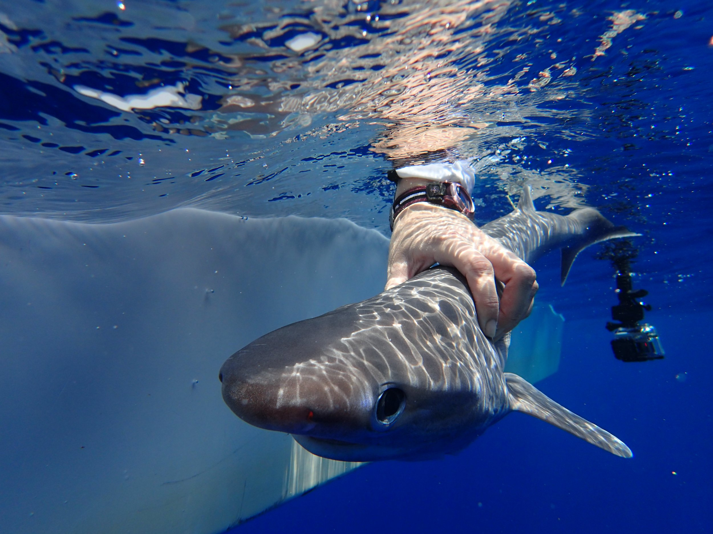New Shark Species Discovered In The Atlantic Ocean Has Teeth Like Saws And Six Gills