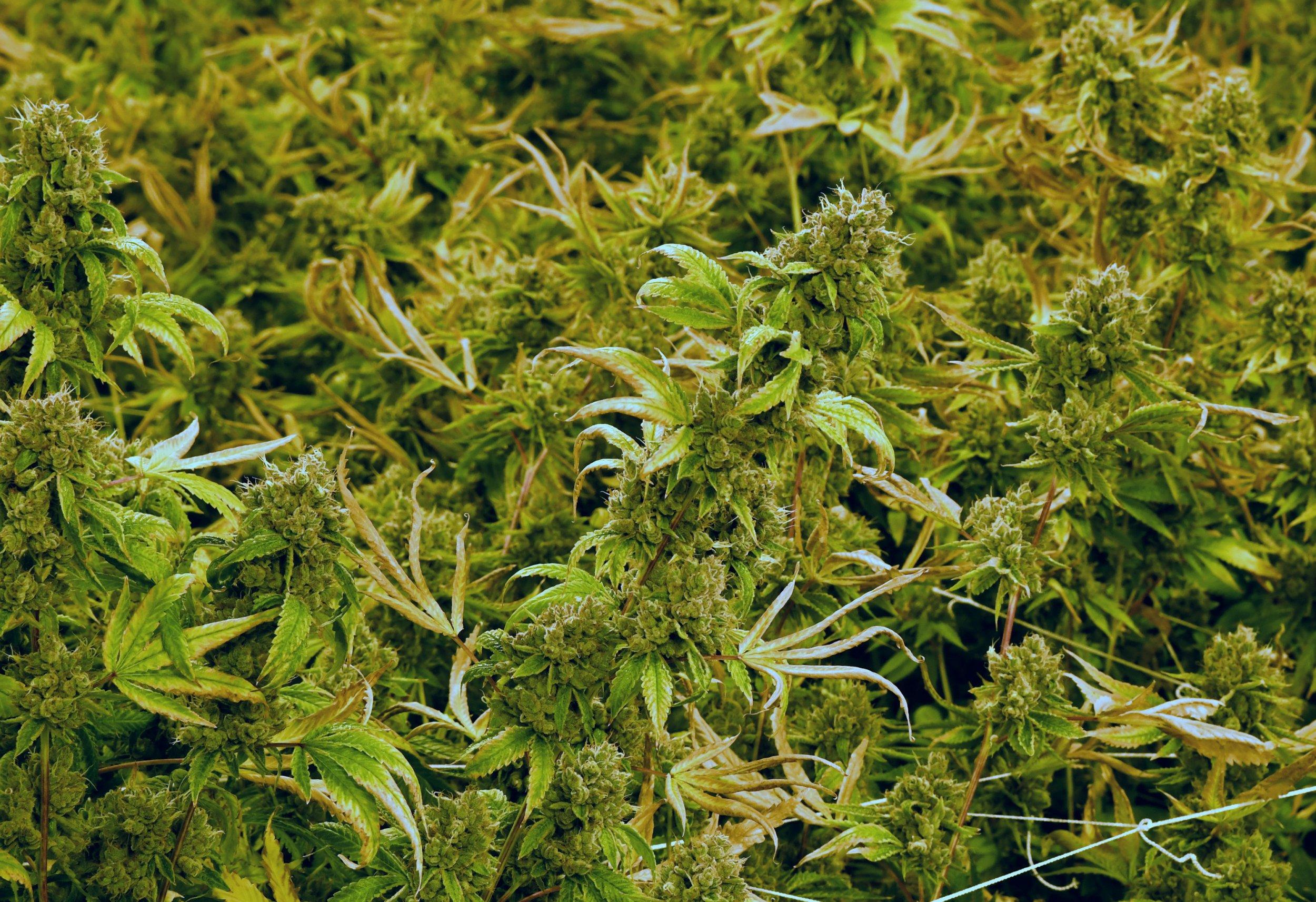 2_25_marijuana