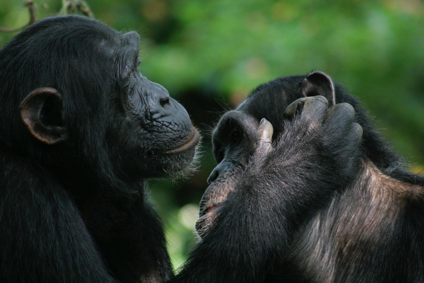 Apes and Humans Might Share Ancient Universal Body Language