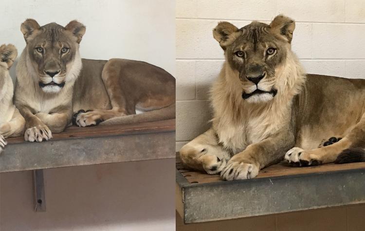 OKC Zoo Lion Bridget Comparison Photo Credit Amanda Sorenson