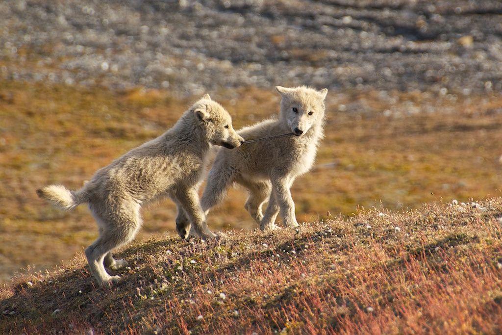 Arctic_Wolf_Pups