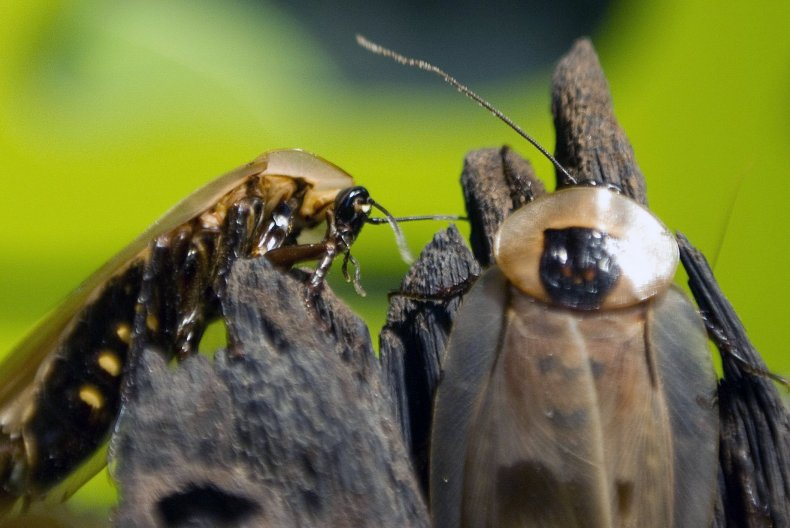 3_1_2018 Cockroaches
