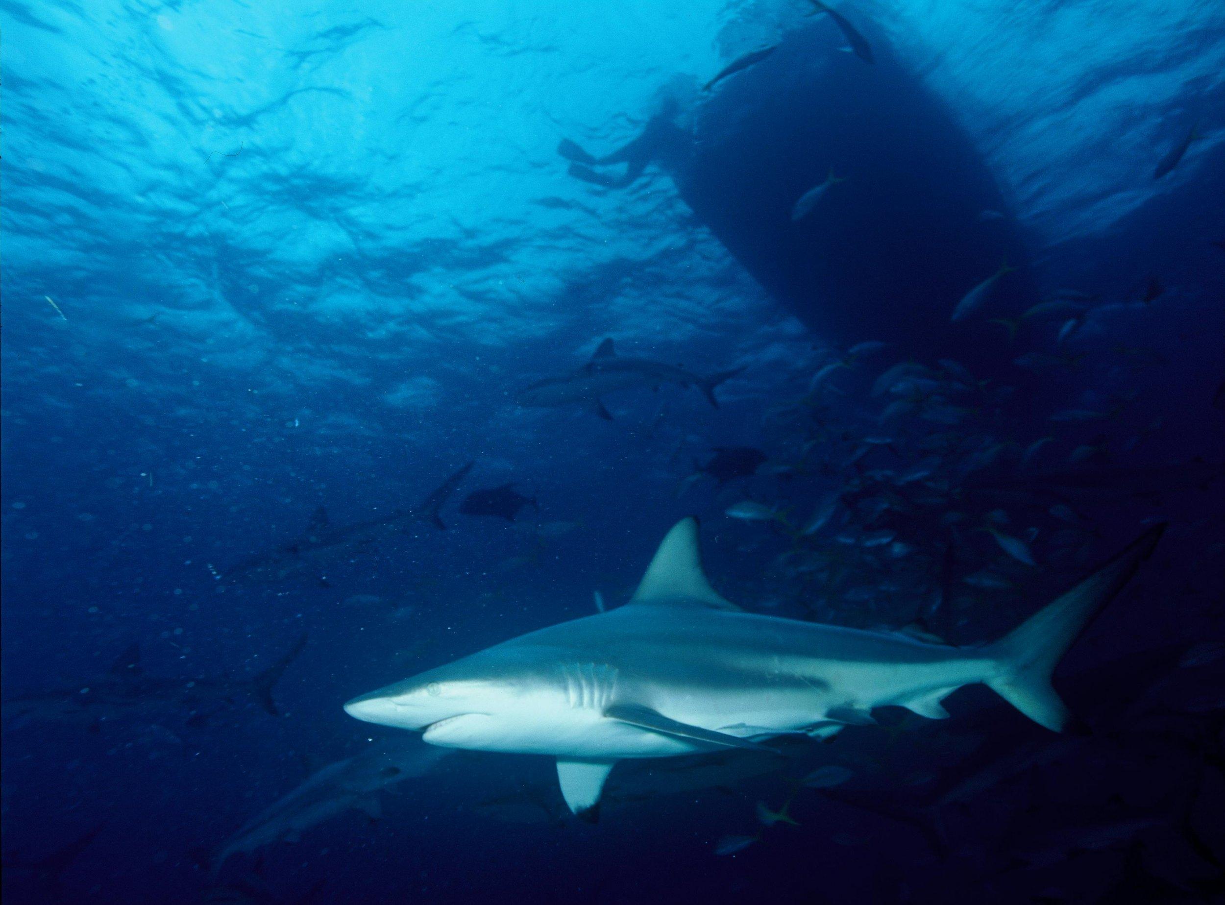 blacktip-shark-group