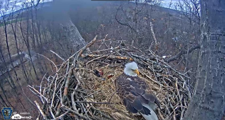 bald-eagle-cam