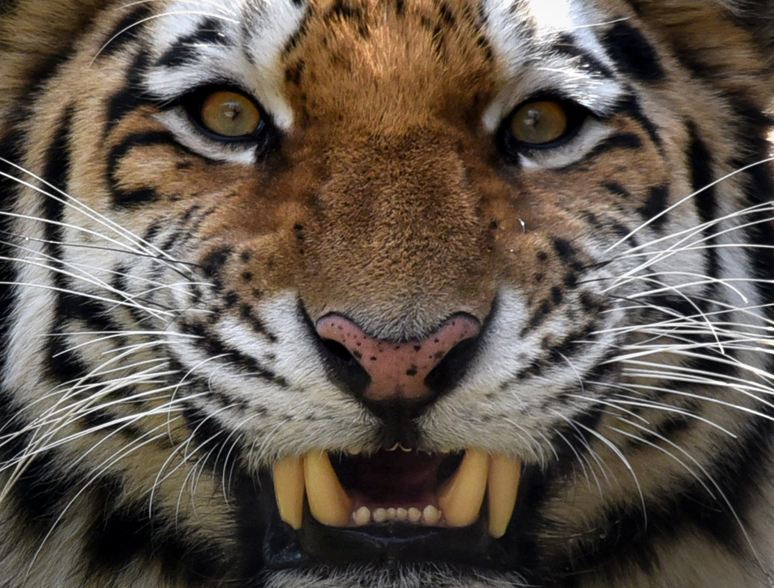 Watch: Ferocious Fight Between Tiger and Bear Caught on Video