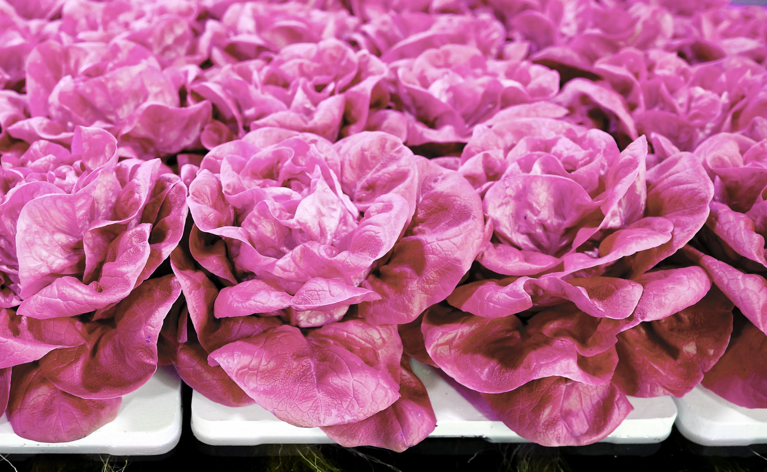 pink lettuce picture