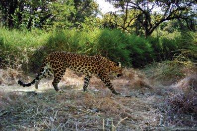 Panthera_IndochineseLeopards_HopeLeopard_CreditPanthera-WildCRU-WWF-Cambodia-FA