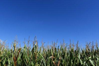 cornfield germany monsanto