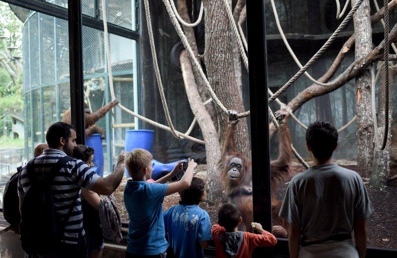 bornean orangutan paris