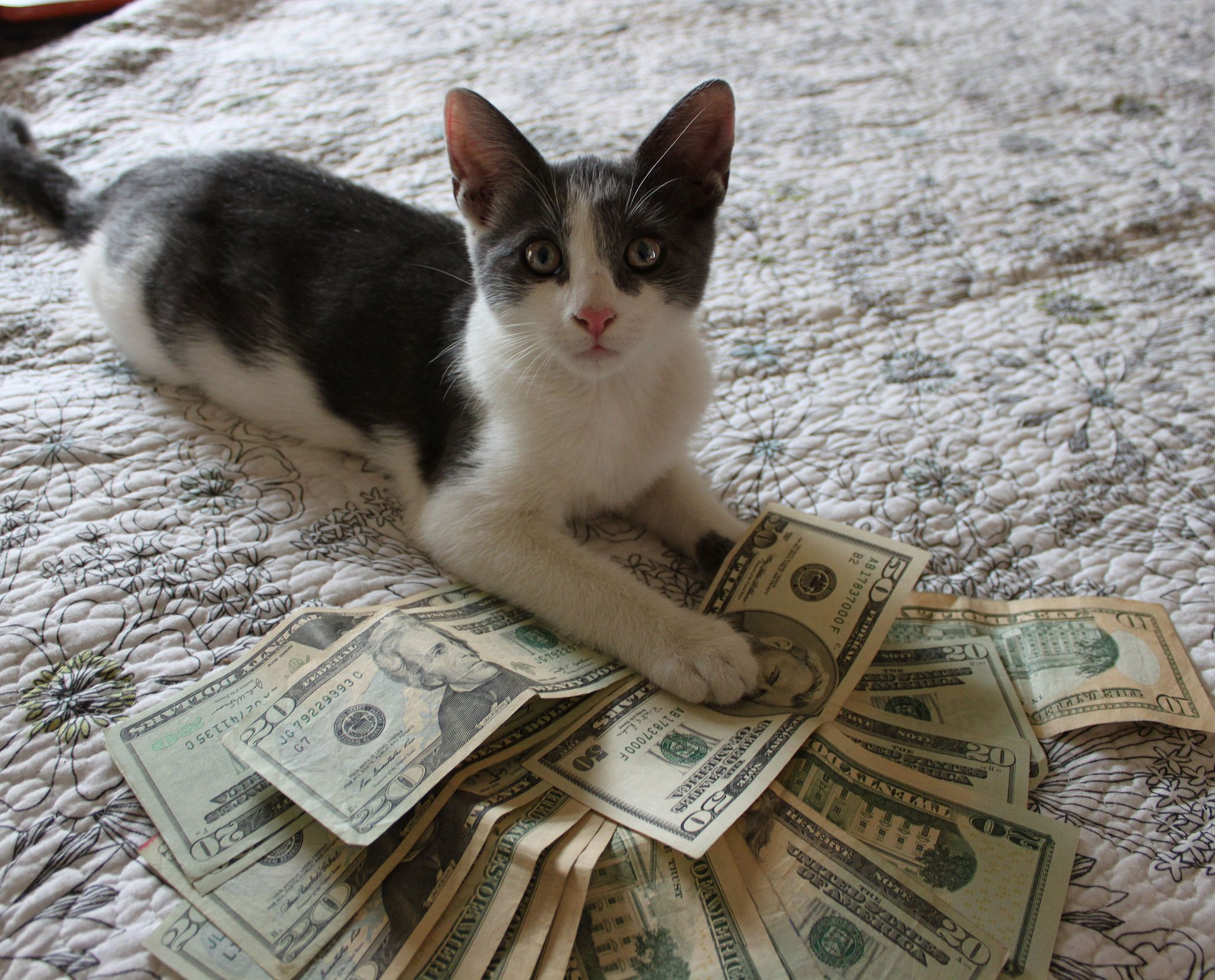 Cat_Money