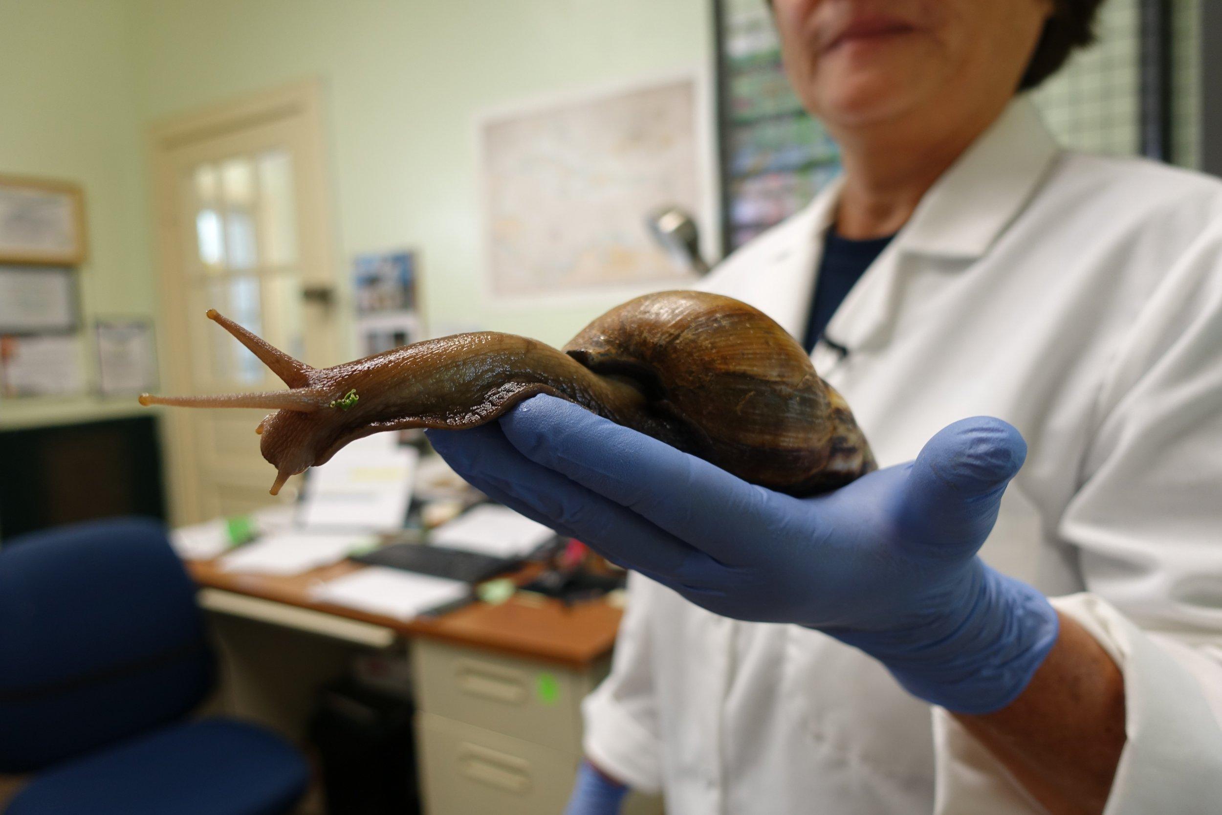 3_9_African snail